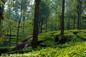 Ooty, plantations de thé