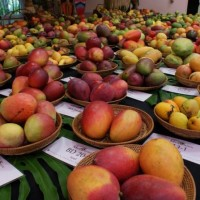 international-mango-festival