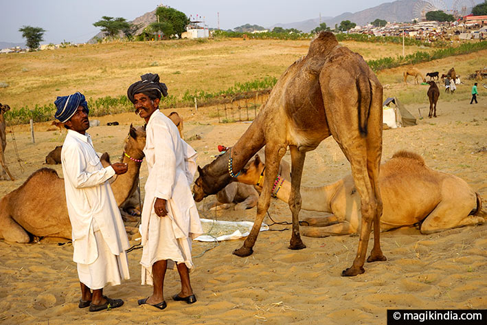 camel-fair-pushkar chameaux